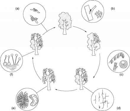 Life Cycle Dutch Elm Disease