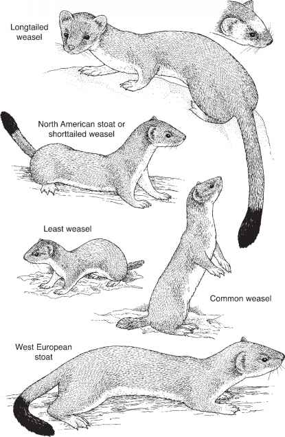 Least Weasel Line Drawing