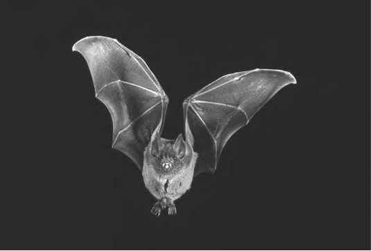 Bat Wings Pictures
