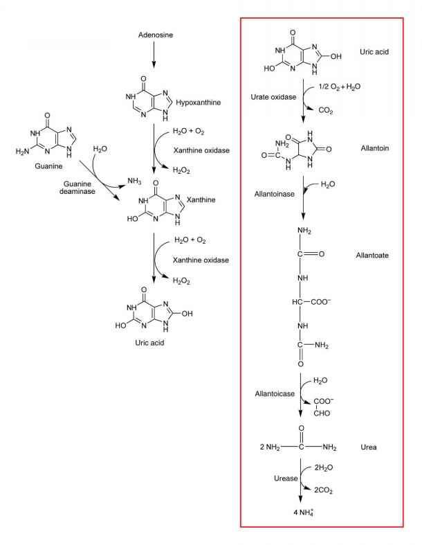 Uric Acid Pathway Catabolites and...