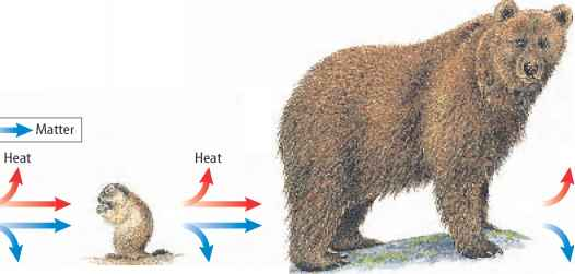Grizzly Bear Food Chain