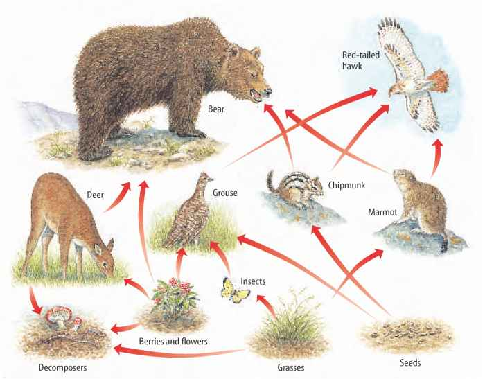 food web diagram of the temperate forest Animal food diagram webs ecosystems rainforest wetland animals forest ecosystem prairie simple desert chain marine grassland examples tropical with organisms example.