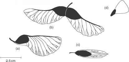 Sycamore Seed Dispersal Mechanism