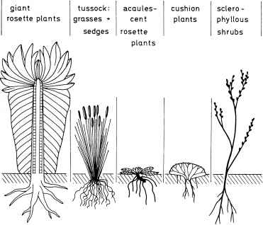 Acaulescent Plants